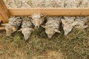 L'agneau venu de Laval