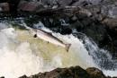 Le nouveau plan de remise à l'eau du saumon irrite en Minganie