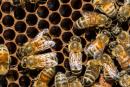 Suspects recherchés pour... vol de ruches d'abeilles