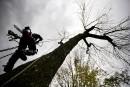 Agrile du frêne: plus de 13000arbres abattus