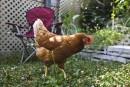 Trois-Rivières: une pétition lancée pour avoir droit aux poules de jardin
