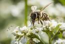 Pas près de manquer d'abeilles, mais...
