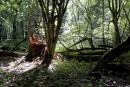 Abattage d'arbres dans la forêt de Bialowieza: des ONG portent plainte devant la Commission européenne