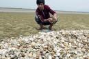 Viêt Nam: après les poissons, des tonnes de palourdes retrouvées mortes