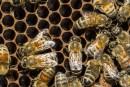 Vol de 5millions d'abeilles et 180ruches chez Miel Labonté