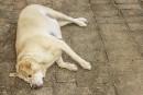 Un gène expliquerait la tendance à l'obésité des labradors