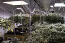 De la marijuana thérapeutique à Louiseville?