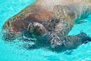 Le premier des deux bébés morses nés ces dernières semaines à l'Aquarium de Québec a pris son premier bain public, jeudi après-midi, et pourra désormais être observé de nouveau par les curieux.