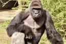 Gorille abattu pour sauver un enfant: le débat enfle aux États-Unis