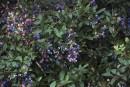 Des bleuets dans la cour