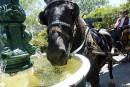 La Ville enseigne aux cochers comment... faire boire leur cheval