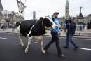 Vaches et tracteurs sur la colline du Parlement