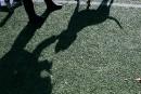 Québec veut revoir l'encadrement des pitbulls
