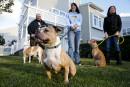 Labeaume veut interdire les pitbulls à Québec