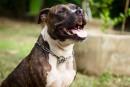 Une femme mordue par un chien de type «pitbull» dans Saint-Roch