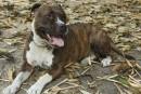 Coiteux veut un modèle de réglementation des pitbulls pour tout le Québec