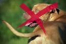 Les pitbulls seront bannis à Québec