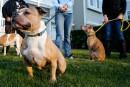 Peut-on légalement interdire les pitbulls?