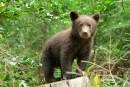 Des ours rôdent autour de la piste cyclable à La Tuque