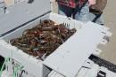 Homard gaspésien: troisième hausse du prix donné aux pêcheurs