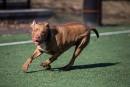 Le groupe de travail recommande de ne pas interdire les pitbulls