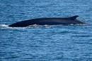 Baleines: à la recherche des géants