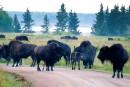 Des bisons tués pour les besoins d'un film tourné en Alberta?