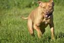 La SPA trouve preneurs pour ses pitbulls