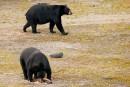 L'ours noir, le roi de la forêt