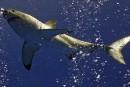 Des chercheurs pourraient résoudre le mystère du «Café des requins blancs»