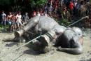Bangladesh: un éléphant en détresse secouru après avoir parcouru 1000 km