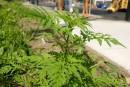 Gatineau en guerre avec les plantes nuisibles