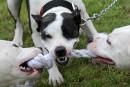 Interdiction des chiens dangereux:Coderre ne démordra pas