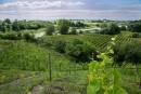Des vignes européennes près de Saint-Hyacinthe