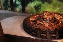 Un argument de taille dans l'affaire du python tueur