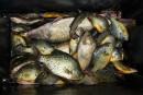 Apprivoiser les poissons de lac