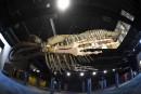 Un énorme squelette de baleine à bosse, suspendu au plafond, accueille les visiteurs à l'entrée du plus grand aquarium d'Amérique du Sud, qui ouvrira ses portes le 9novembre au coeur de la zone portuaire rénovée de Rio de Janeiro. Reportage de Claire de Oliveira Neto etVanderlei Almeidad'Agence France-Presse