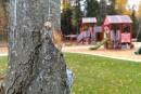 La Ville abîme ses propres arbres