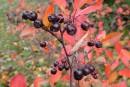 Arbustes: de la couleur jusqu'aux neiges!