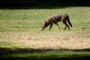 Des coyotes donnent une frousse à deux hommes dans le secteur du parc Debonair