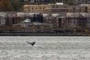 Une baleine à bosse s'installe à Manhattan