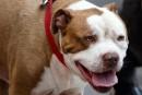 Un règlement anti-pitbulls passe le test des tribunaux