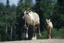 Études sur le caribou: Québec corrige la situation le jour même de la plainte