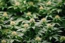 L'IRIS propose que la SAQ vende de la marijuana