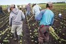 Travailleurs agricoles: Ottawa lève des restrictions imposées aux Guatémaltèques