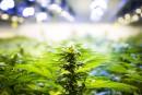 Cannabis: des députés pour la décriminalisation