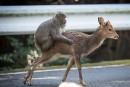 Un singe a un rapport sexuel avec une biche