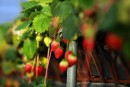 Une application pour évaluer la production de champs de fraises