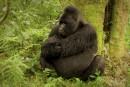 Une heure avec les gorilles