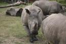 Un rhinocéros tué dans un zoo de France, ses cornes arrachées